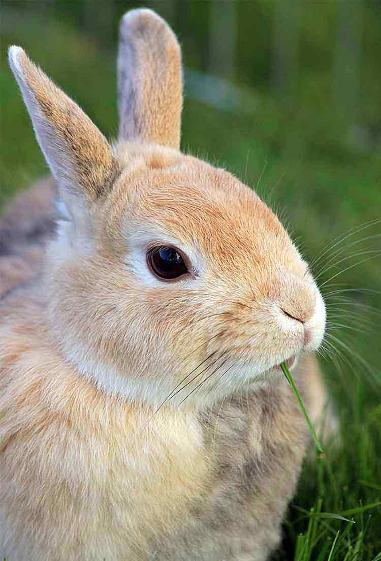 beautiful pale brown rabbit