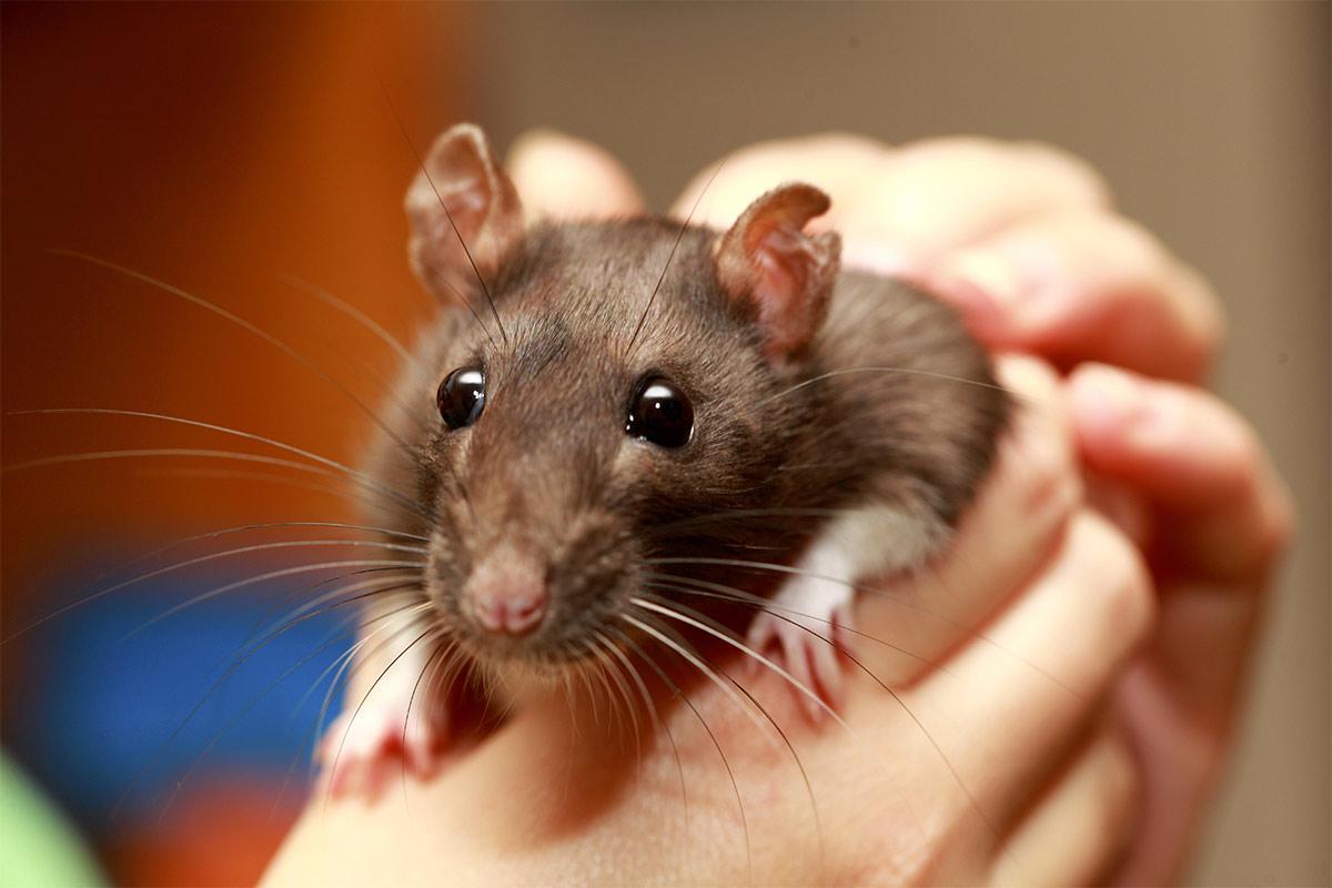 fancy rat varieties