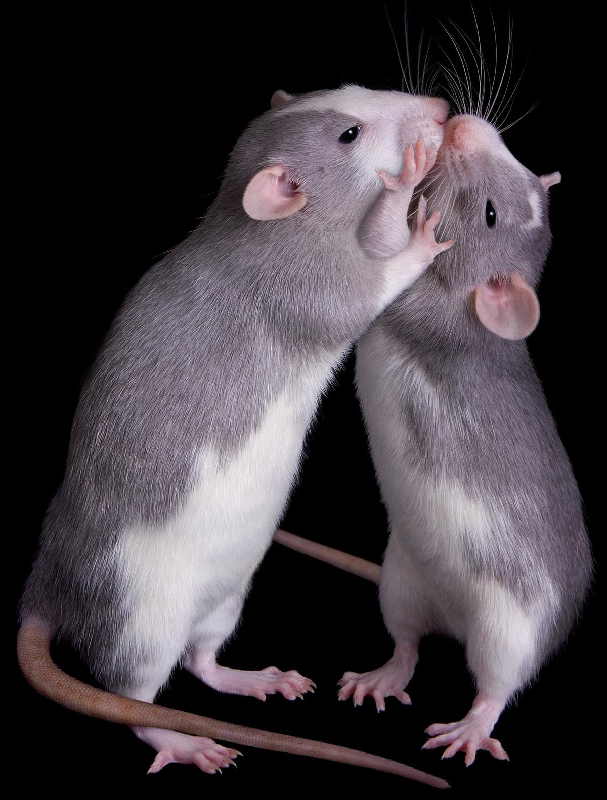 fancy rat love
