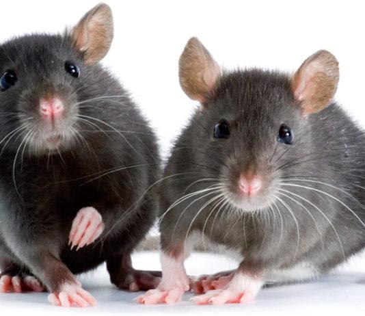 fancy rats as pets