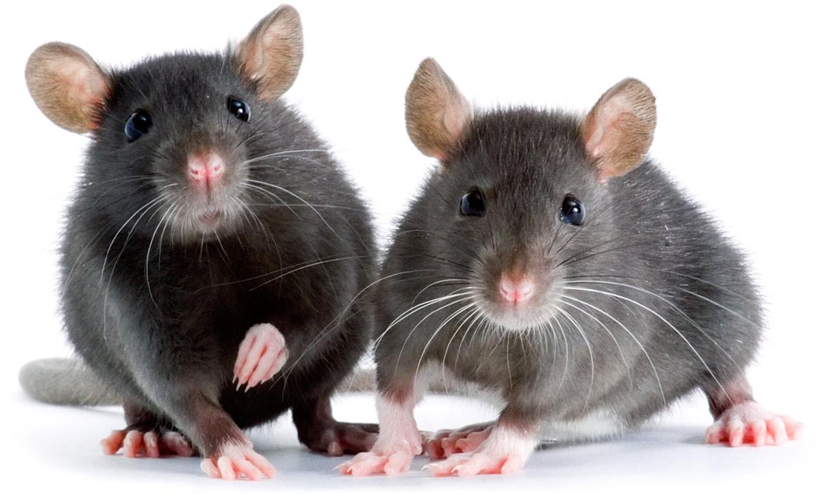 How to Fix a Rat Behavior Problem | Pet Rats - YouTube