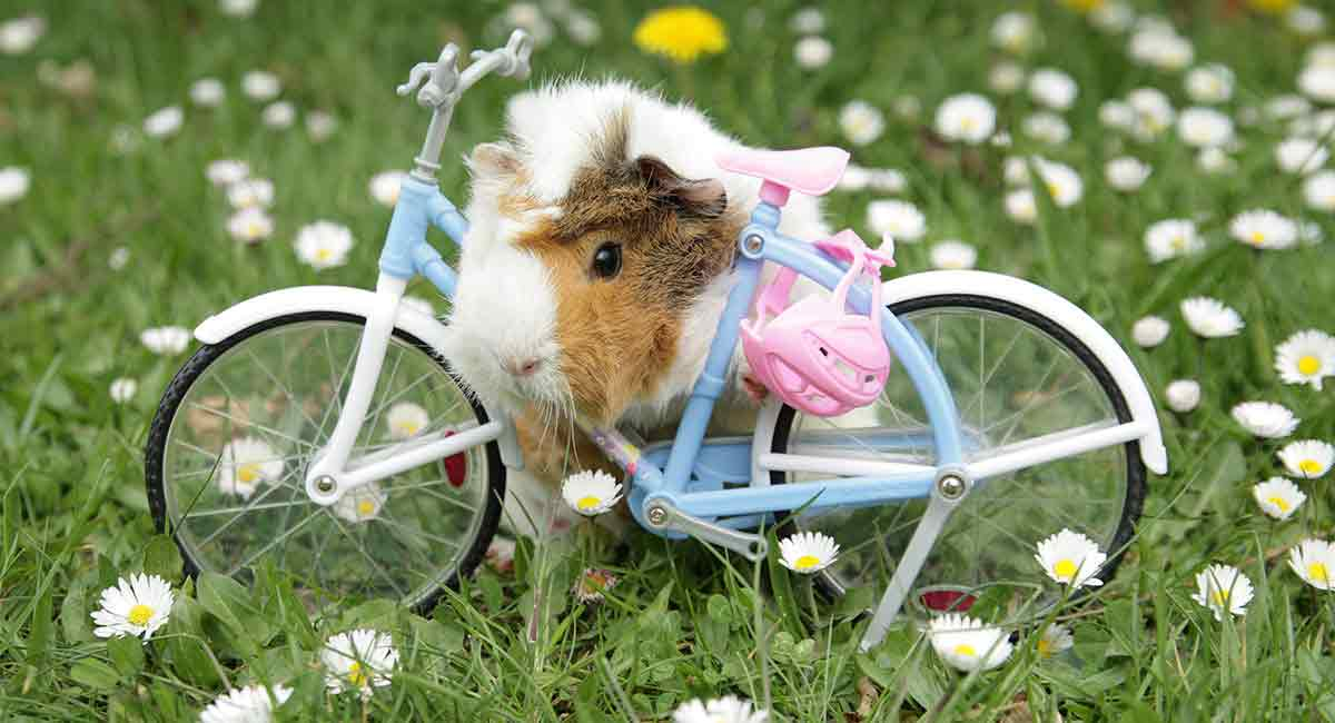 Funny Guinea Pig Names - Ideas For 1, 2 and 3 Piggy Families