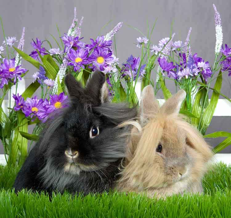 long haired bunnies