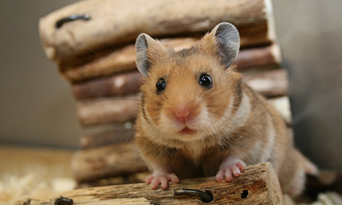 Small Hampster In Pets At Home