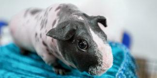 Skinny pig - hairless guinea pig