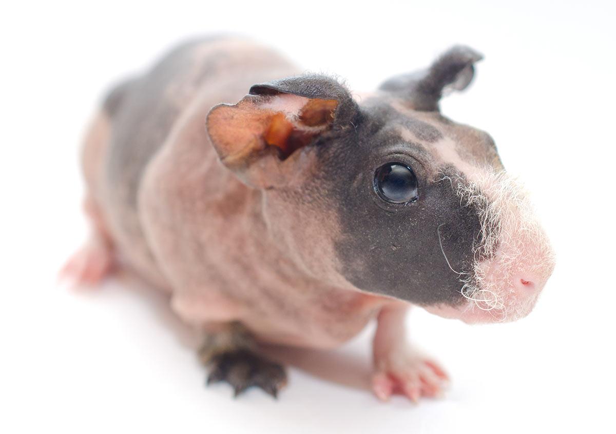 guinea pig breeds - skinny