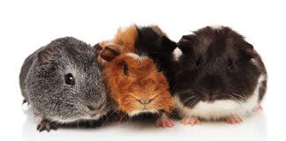 guinea pig breeds