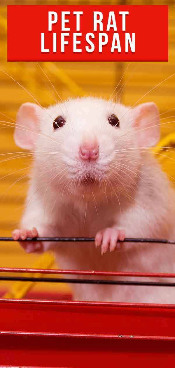 pet rat lifespan