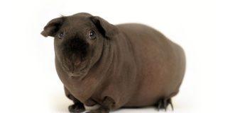 Skinny pig breed