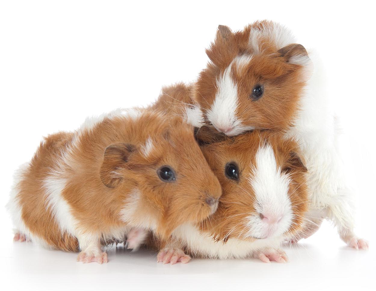 guinea pig breeds abyssinian