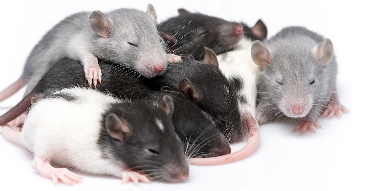 Baby Rats - Care and Development