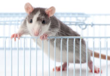 25 Safe Foods for Rats and 20 to Avoid