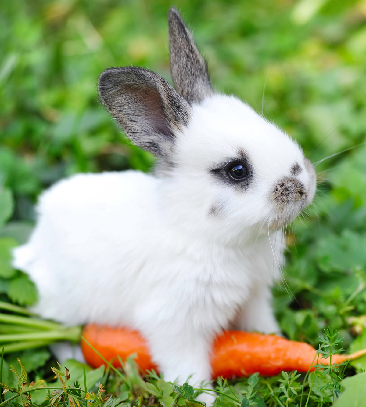 can baby rabbits eat carrots