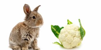 can rabbits eat cauliflower
