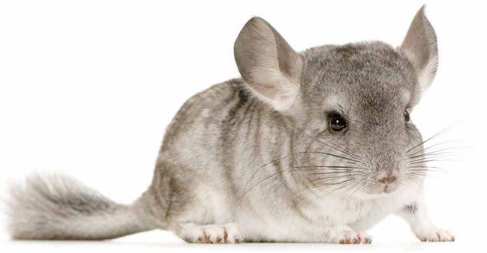 chinchilla names