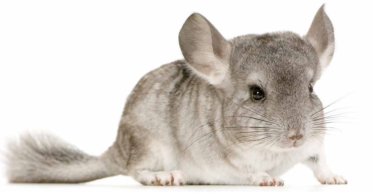 Image result for cute chinchilla