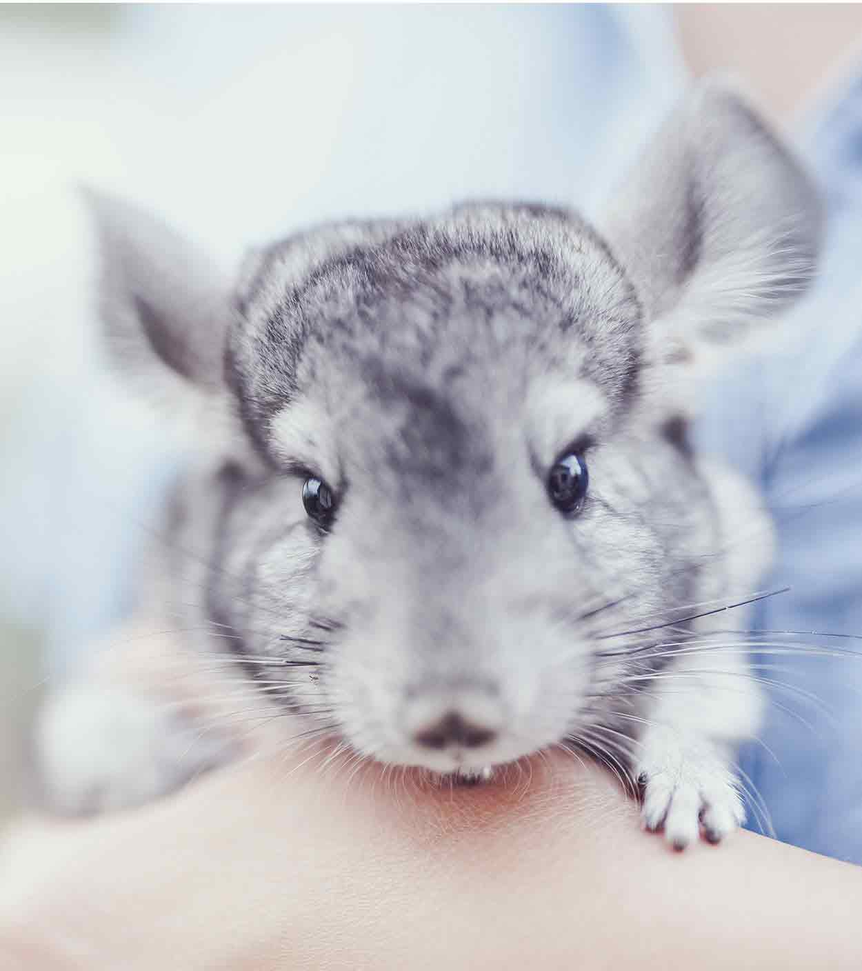 Chinchilla Names - Over 100 Perfect Names!