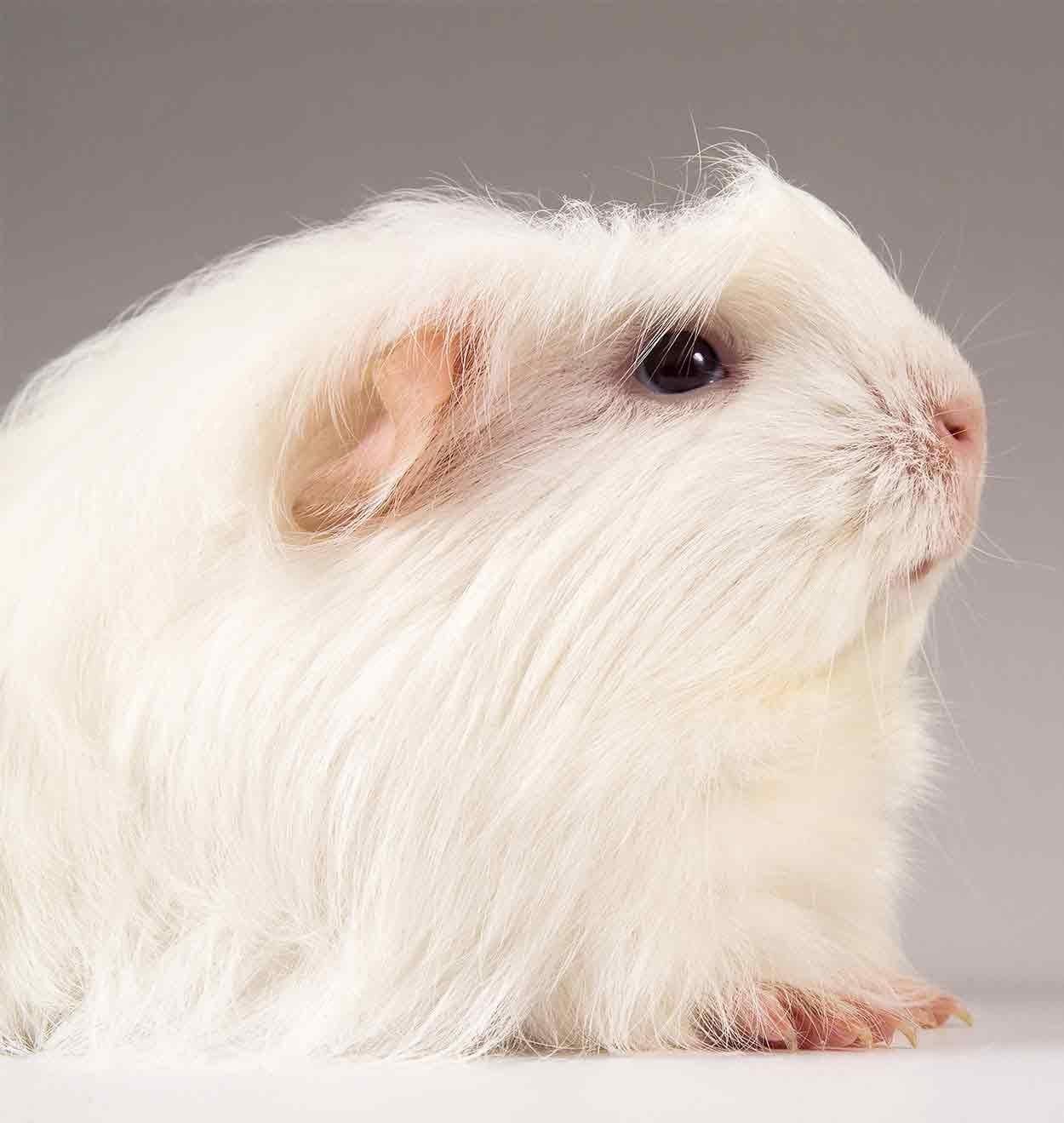 guinea pig breeds coronet