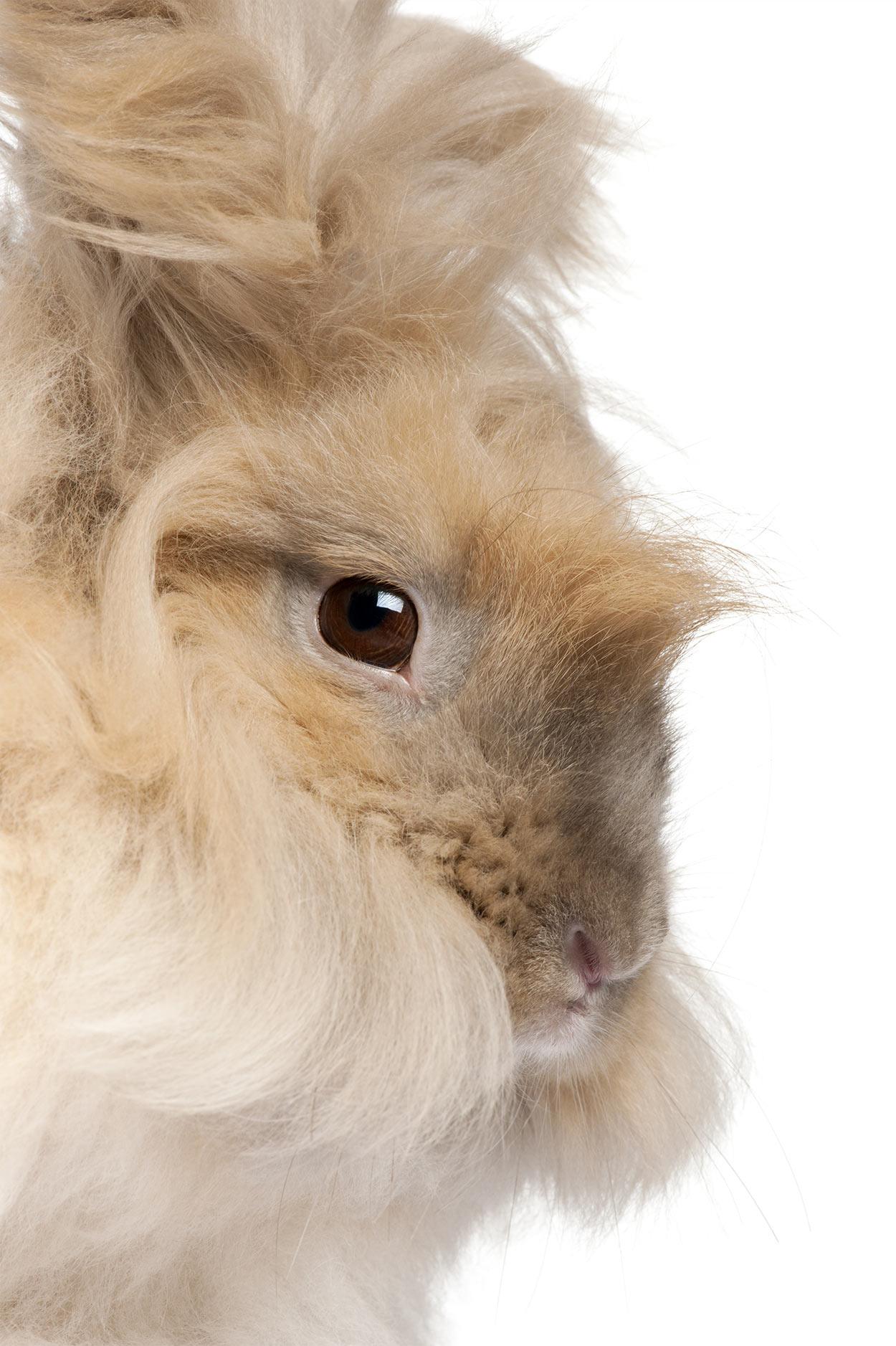 english angora rabbit