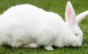 flemish giant rabbits