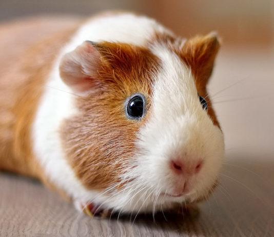 guinea pig popcorning