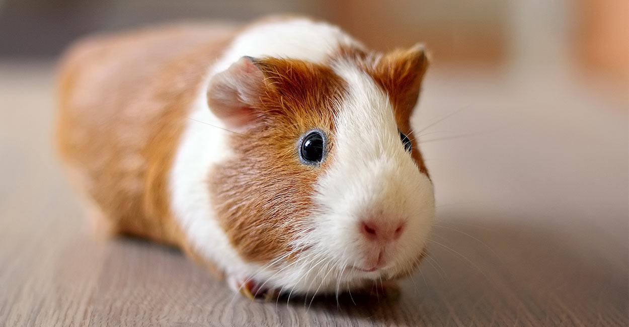 dwarf guinea pig names choice image