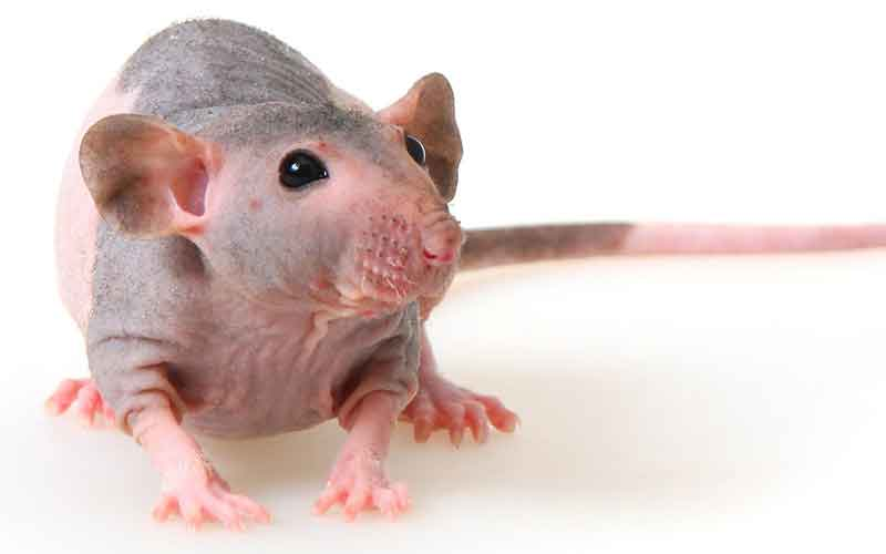 Hairless Pet Rat
