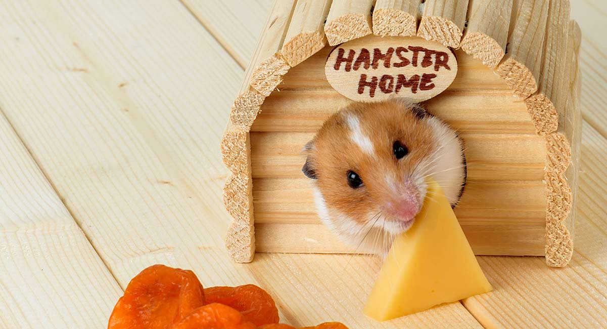 can guinea pigs eat cheese
