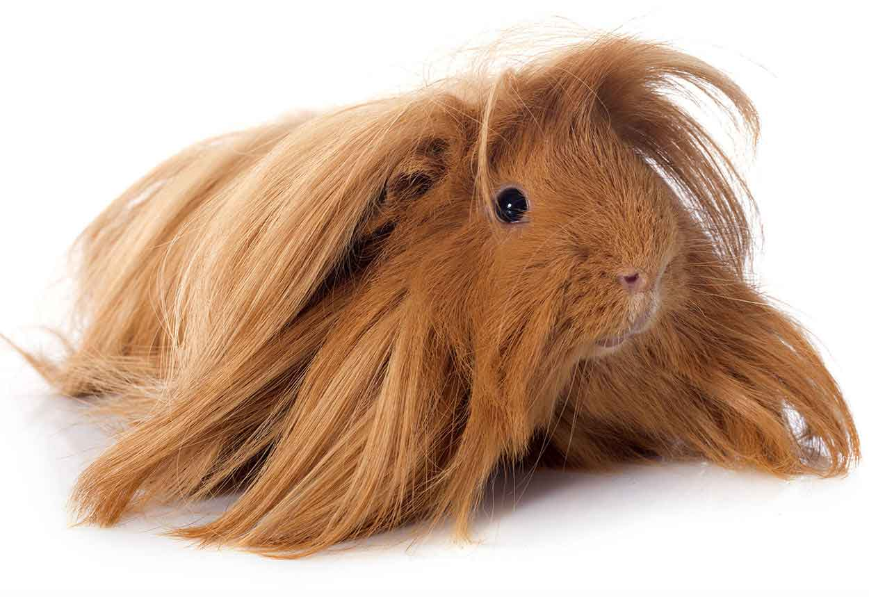 guinea pig breeds peruvian