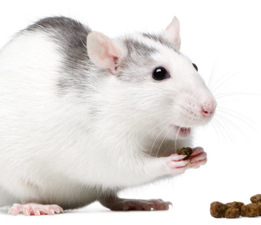 Rat Food - choosing the right food for your pet rats
