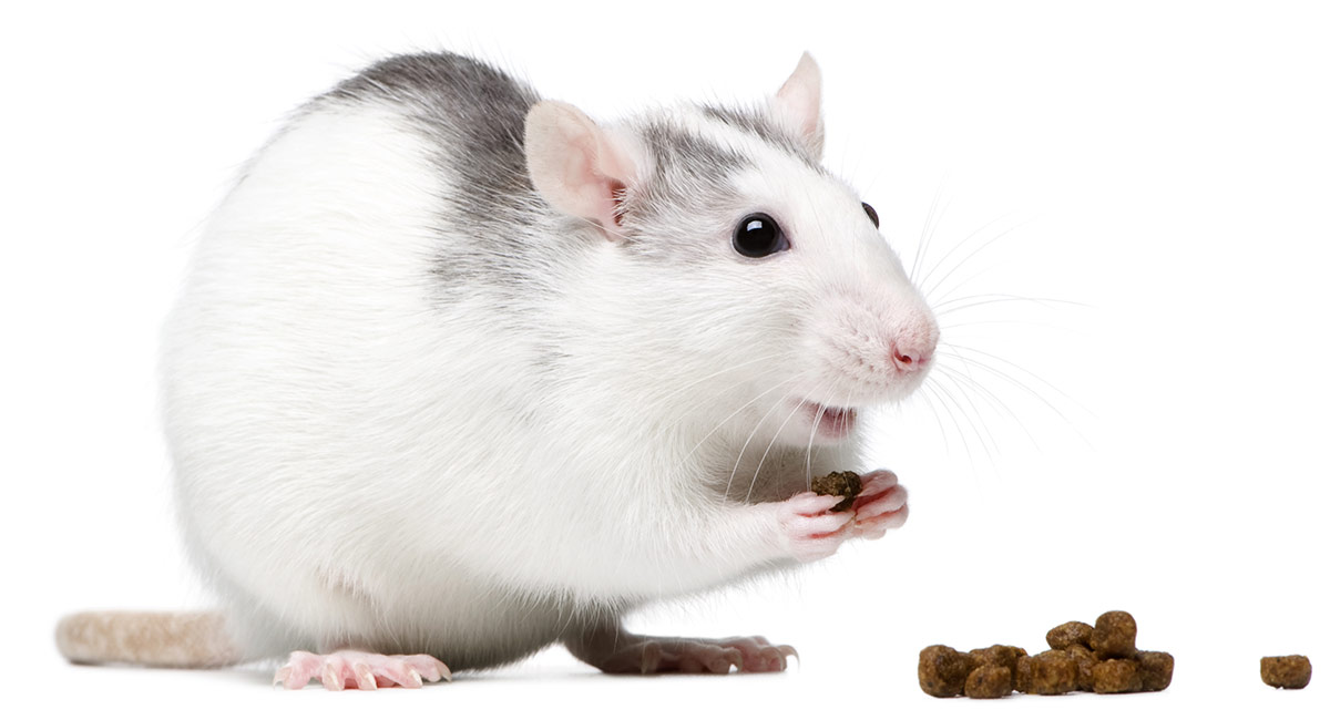 Your Rat Food Guide - Best Rat Food Brands & How To Feed Them