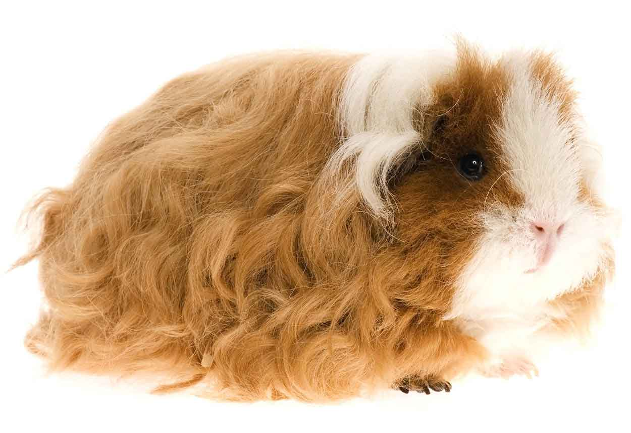 guinea pig breeds texel