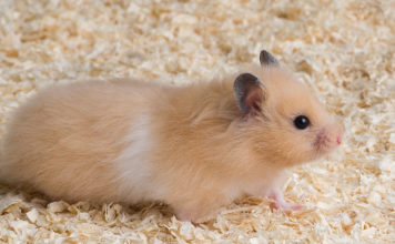 where to get a hamster