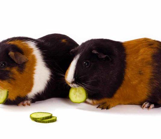 Can Guinea Pigs Eat Cucumber - A Guide to Piggies and Cucumbers