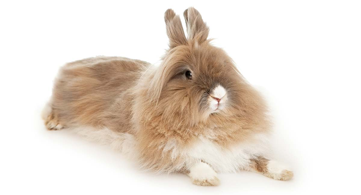 Lionhead Rabbit Breed Information Center: Discover The Lionhead Bunny