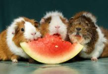 what fruit can guinea pigs eat