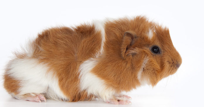 abyssinian guinea pigs