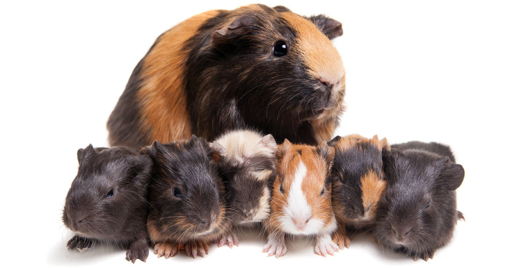 Your Baby Guinea Pig - What To Expect And How To Look After Them
