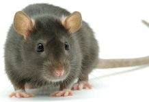 baytril for rats