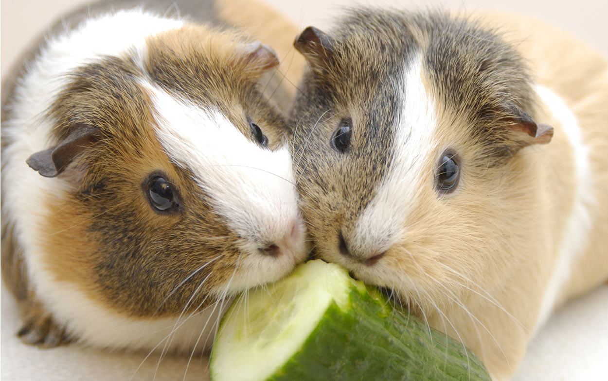 can guinea pigs have cucumber