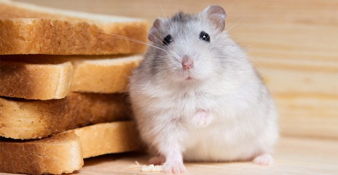 can hamsters eat bread