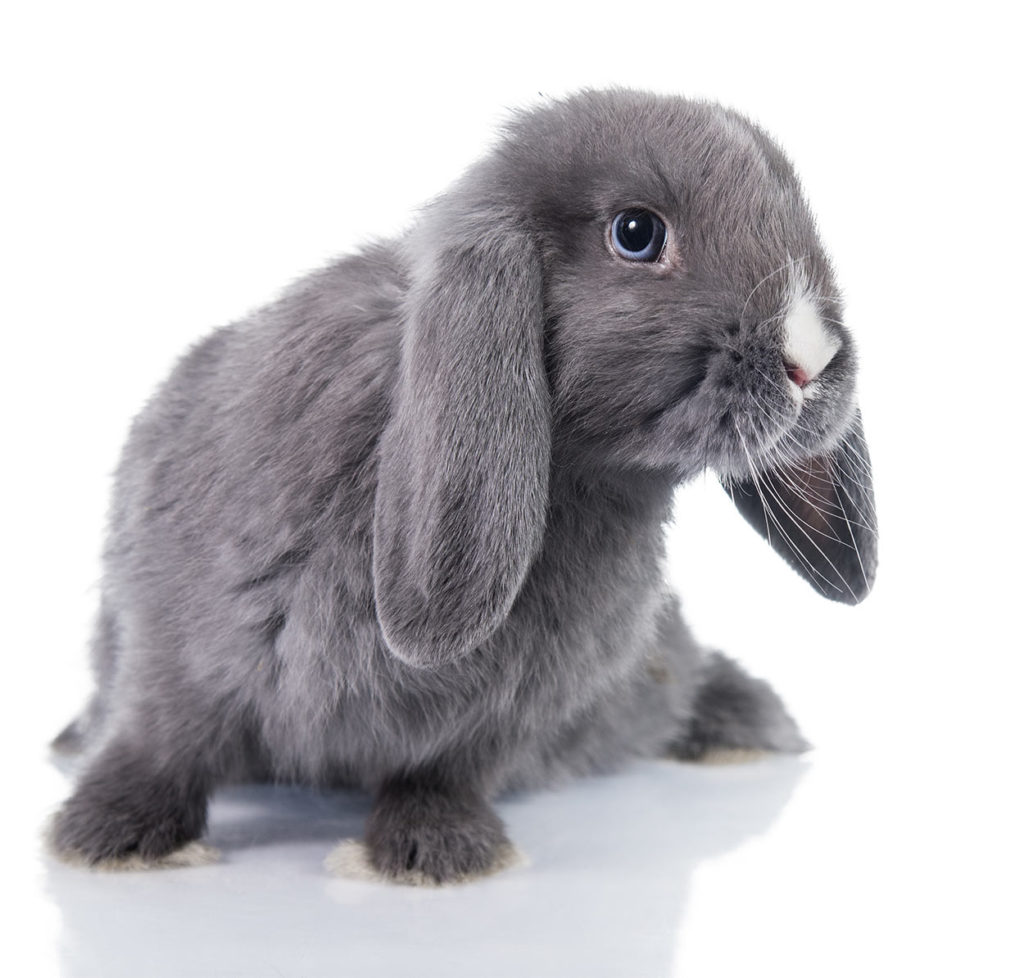 Dwarf Rabbits - A Complete Guide To The Smallest Bunny Breeds