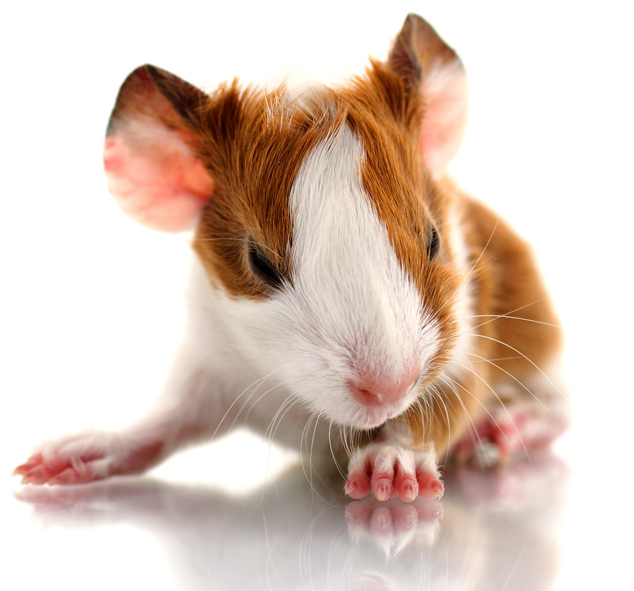 ivermection for guinea pigs