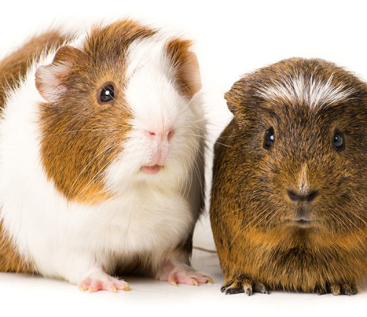 ivermectin for guinea pigs