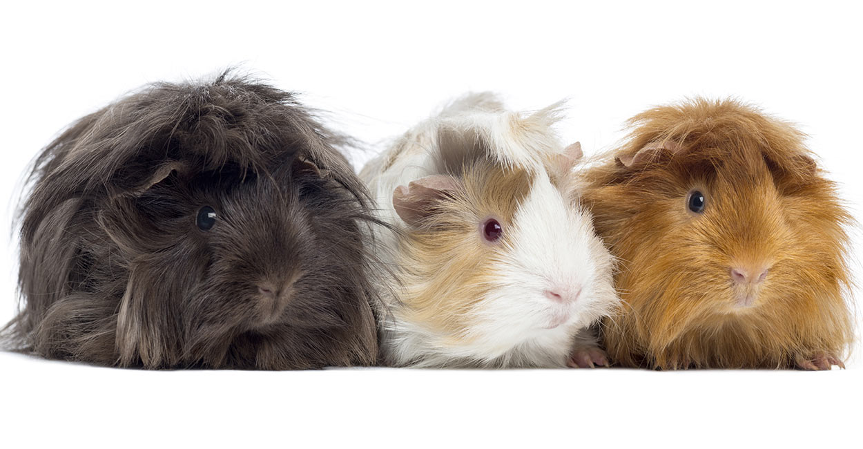 Long haired guinea pig - photo#35
