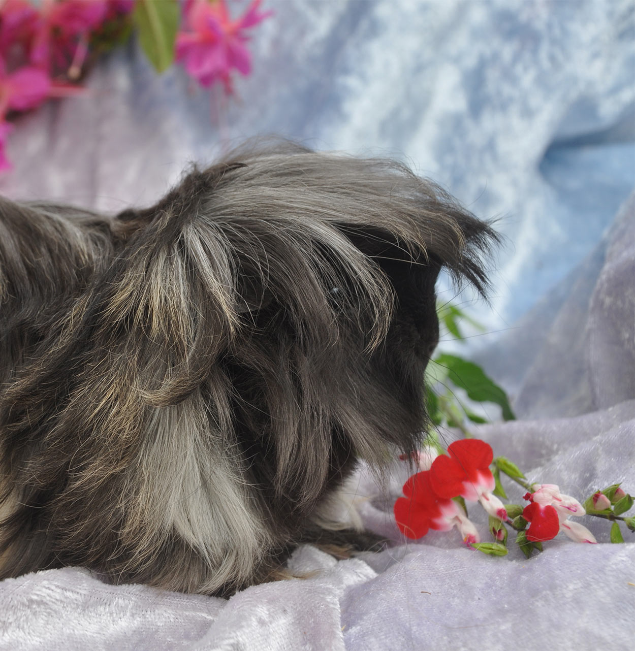 pig hair style haired guinea pig breeds squeaks and nibbles 6173