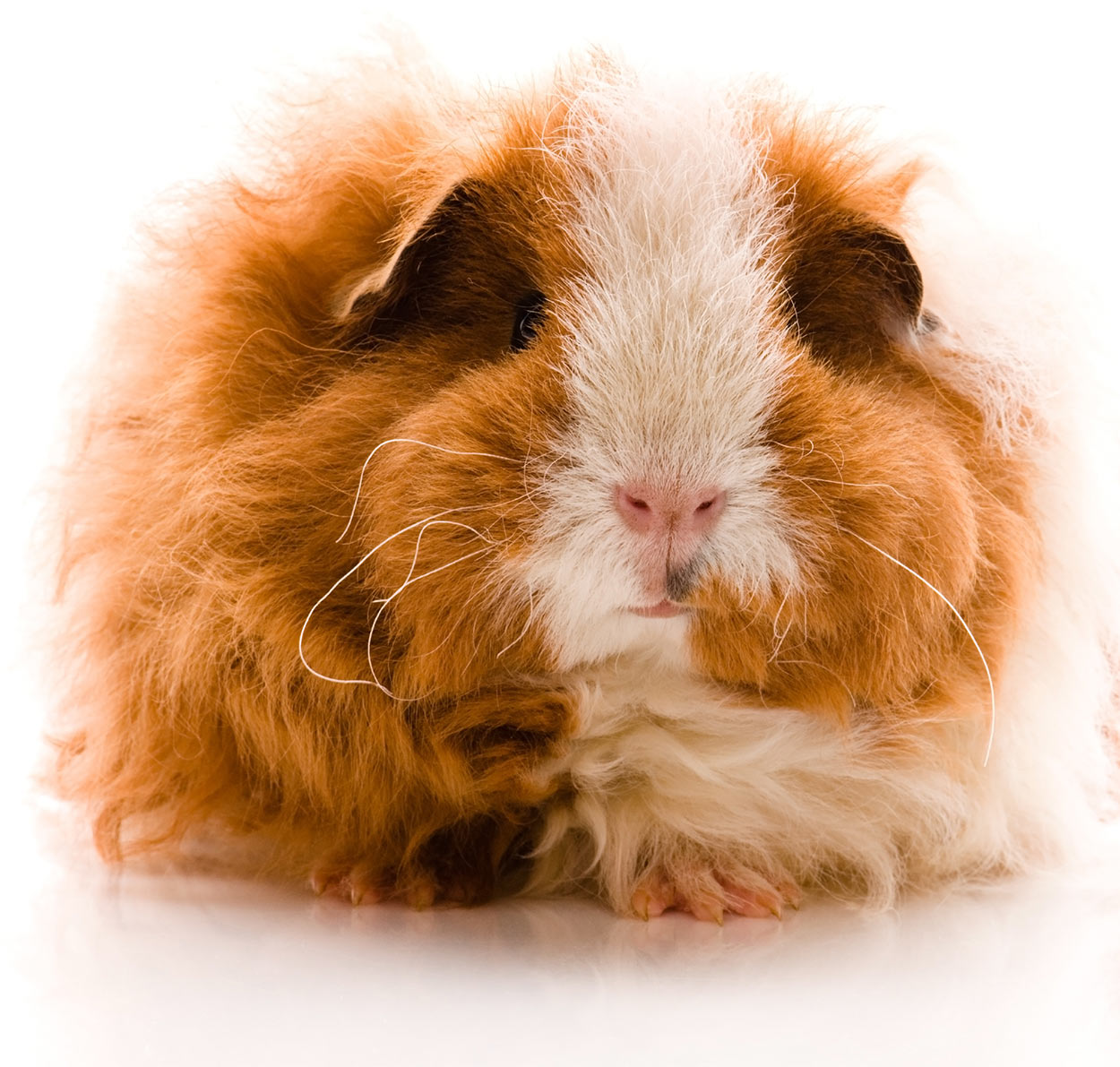 long haired texel guinea pig