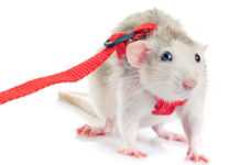 rat harnesses