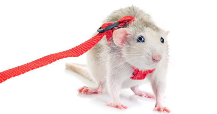 rat harnesses