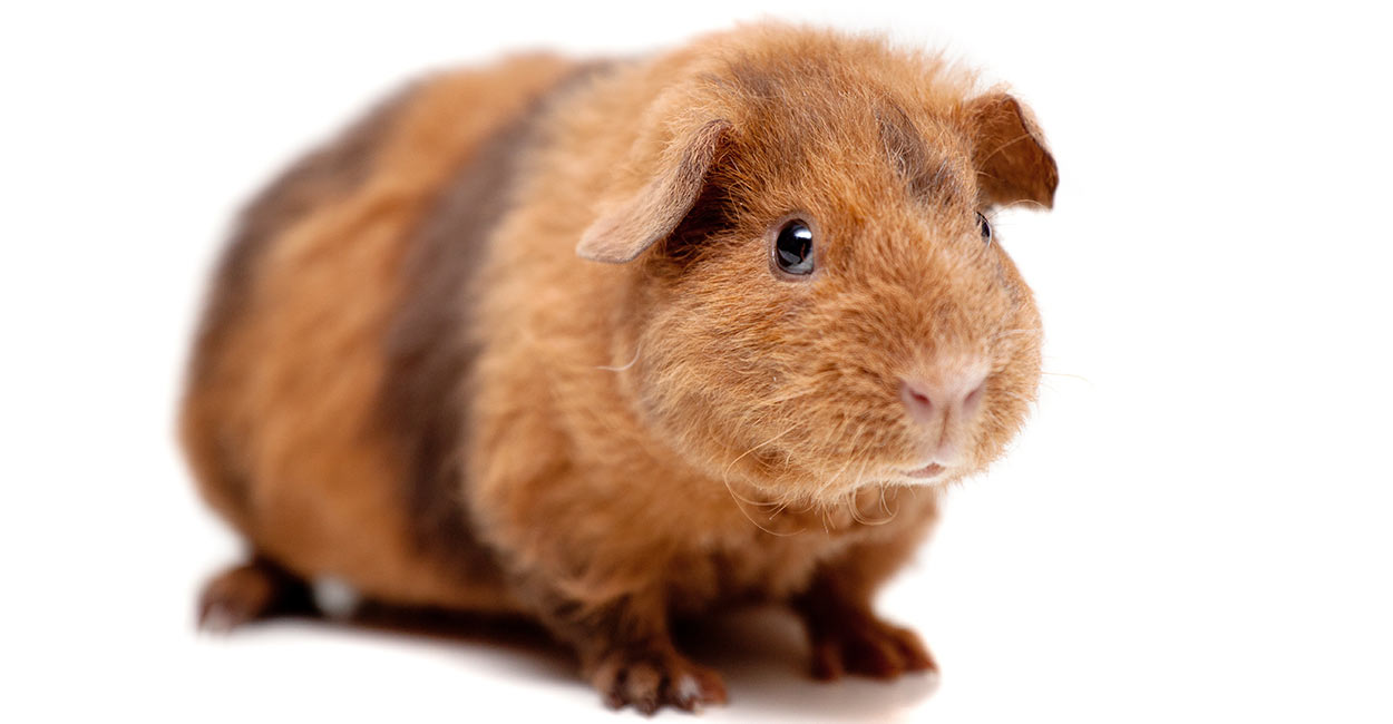 Teddy Guinea Pig Breed Information - A Guide To Teddy Bear